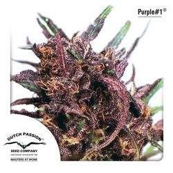 Purple 1 Regular (Dutch Passion)