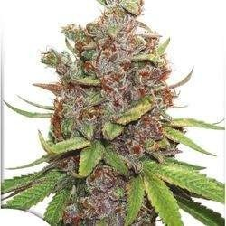 Auto Glueberry O.G Feminizowane (Dutch Passion)