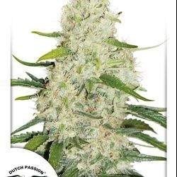 Think Big Feminized (Dutch Passion)