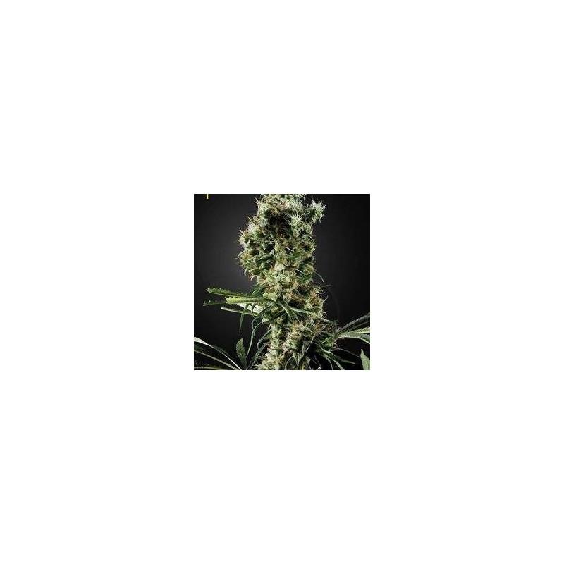 Arjan's Haze 2 Feminized (Green House Seeds)