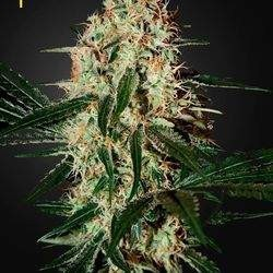 Arjan's Haze 3 Feminized (Green House Seeds)