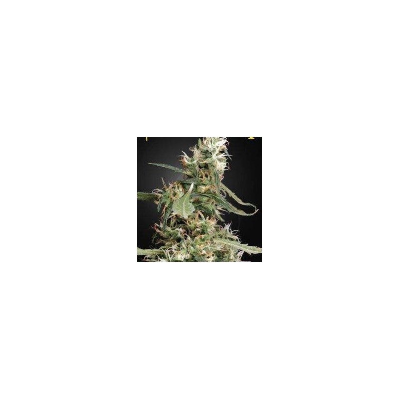 Arjan's Ultra Haze 1 Feminized (Green House Seeds)