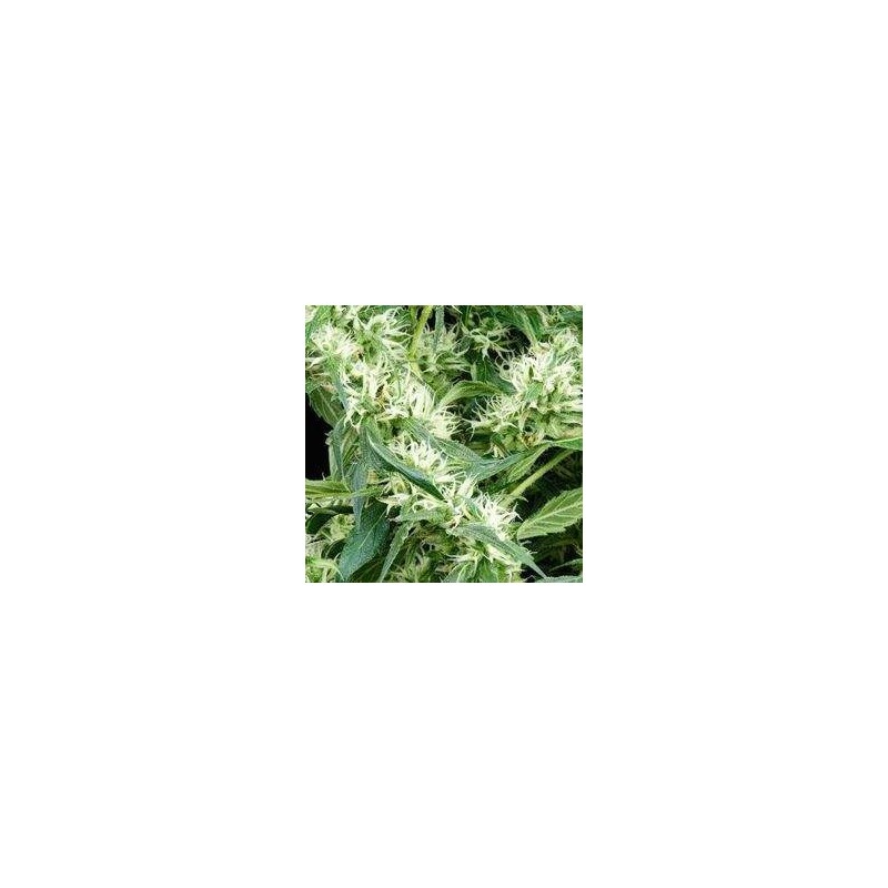 Arjan's Ultra Haze 2 Feminized (Green House Seeds)