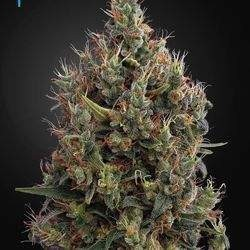 Big Bang Autoflowering Feminized (Green House Seeds)