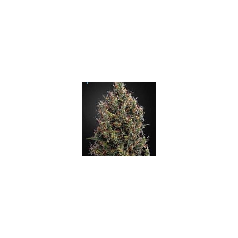 Big Bang Autoflowering Feminizowane (Green House Seeds)