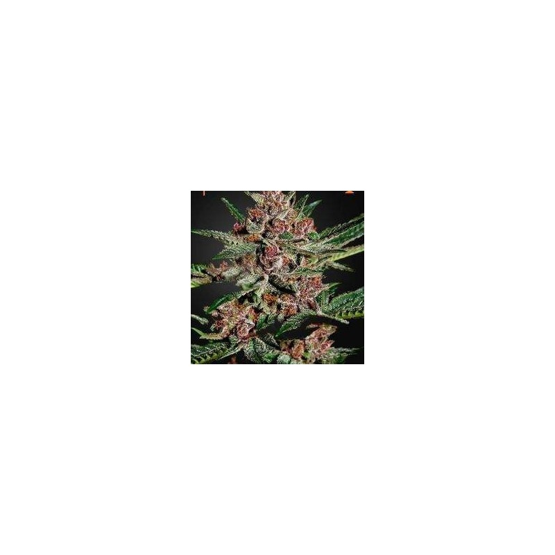 Bubba Kush Feminized (Green House Seeds)