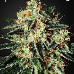 Cheese Feminizowane (Green House Seeds)