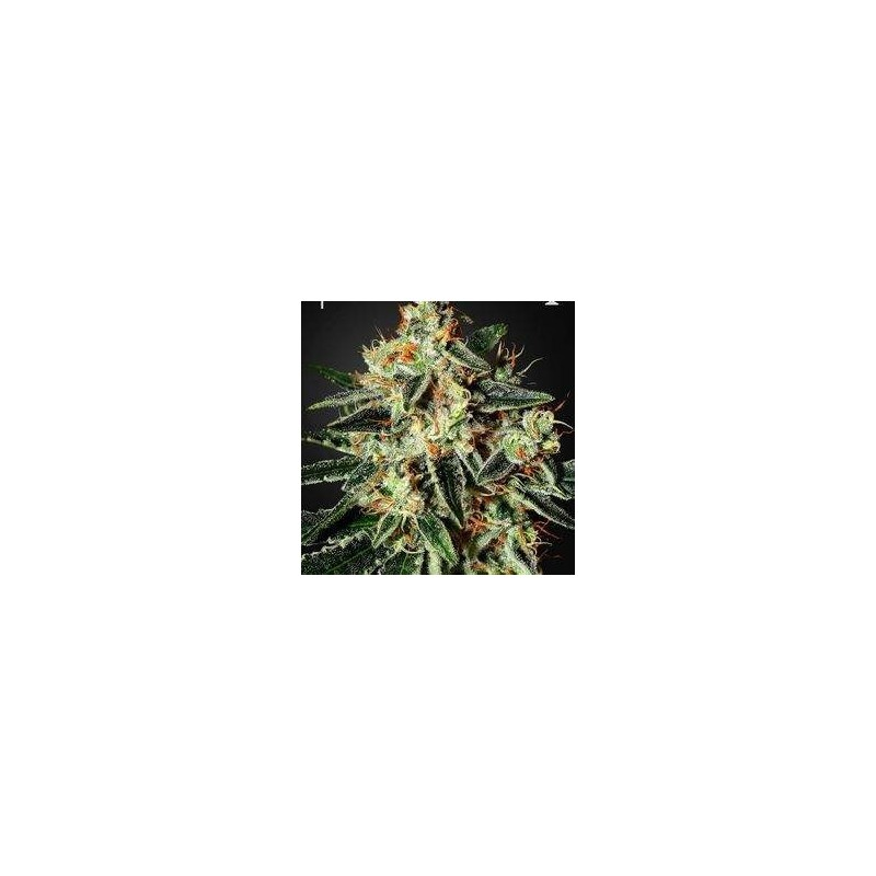 Cheese Feminized (Green House Seeds)