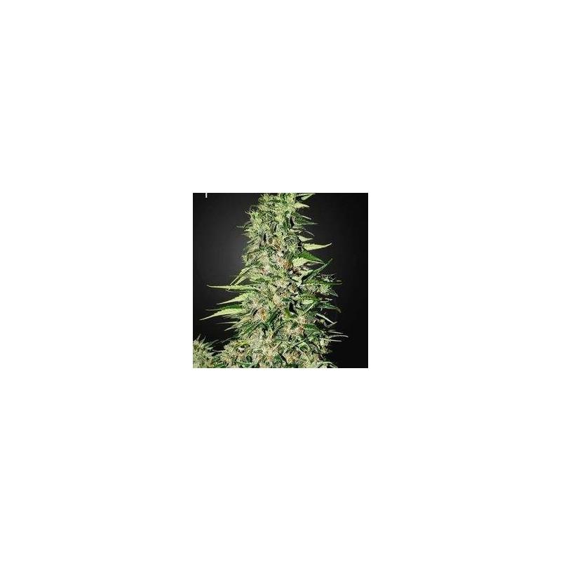 Diamond Girl Feminizowane (Green House Seeds)