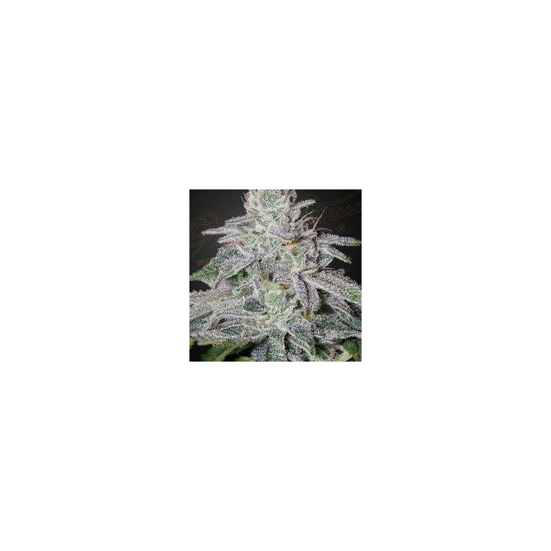 Franco's Lemon Cheese Feminizowane (Green House Seeds)