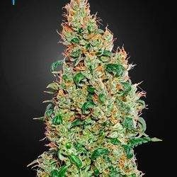 Green-O-Matic Feminized (Green House Seeds)