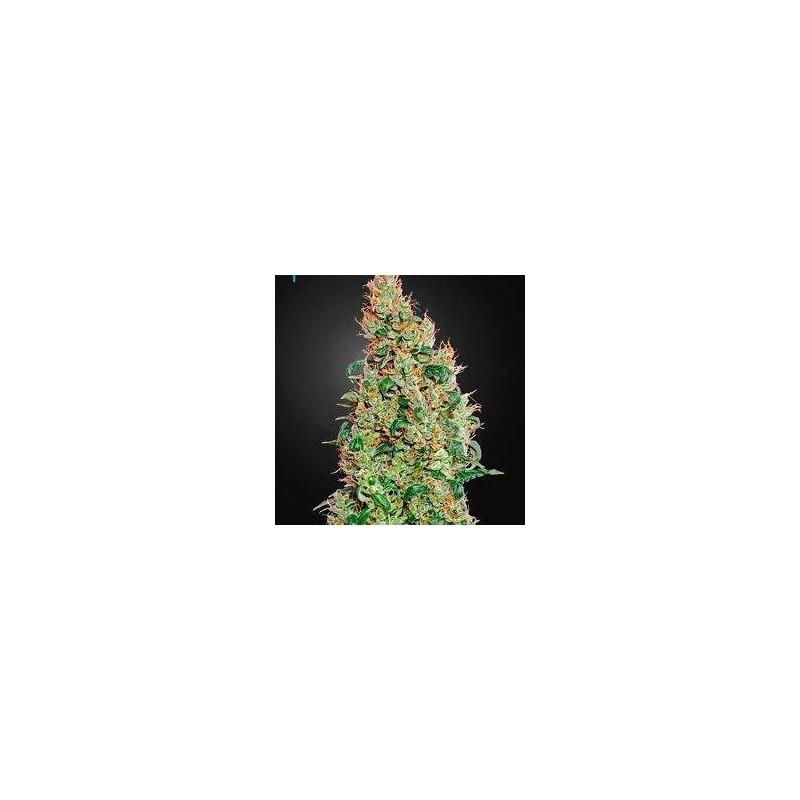 Green-O-Matic Feminized (Green House Seeds)