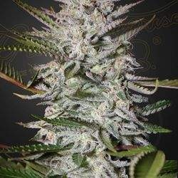 Holy Punch Feminized (Green House Seeds)