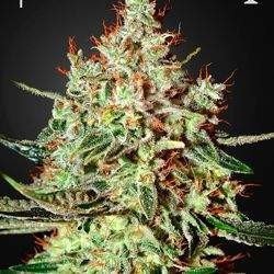 K-Train Feminized(Green House Seeds)