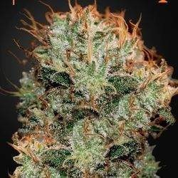Kaia Kush Feminized (Green House Seeds)