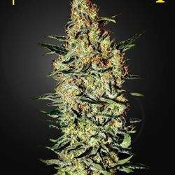 Neville's Haze Feminized  (Green House Seeds)