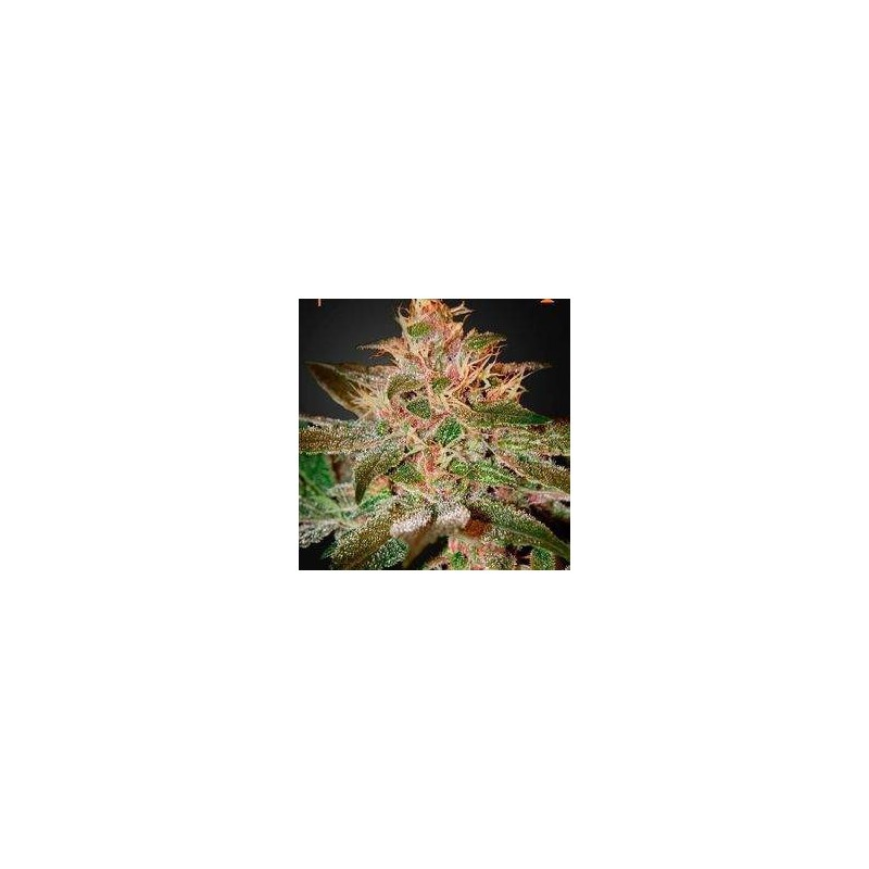 Pure Kush Feminizowane (Green House Seeds)