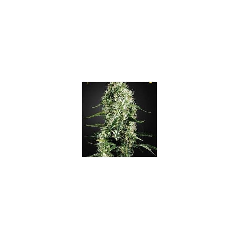 Super Silver Haze Feminizowane (Green House Seeds)