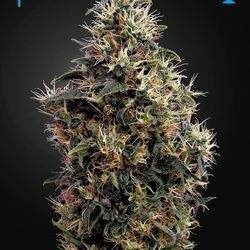 Sweet Mango Auto Feminized (Green House Seeds)
