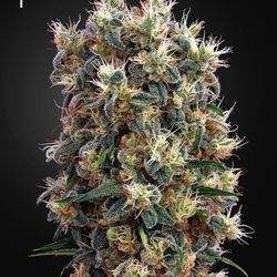 The Church Feminized (Green House Seeds)