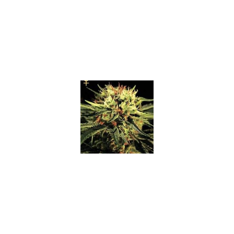 The Doctor Feminized (Green House Seeds)