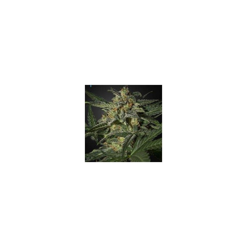 White Widow Auto Feminized (Green House Seeds)