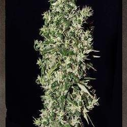 Big Tooth Feminized ( Strain Hunters)
