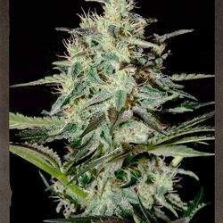 White Lemon Feminized (Strain Hunters)