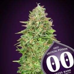 Critical Poison Fast Version Feminized (00 Seeds Bank)