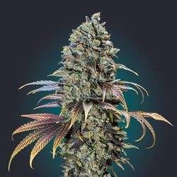 Chocolate Cream Feminized (00 Seeds Bank)