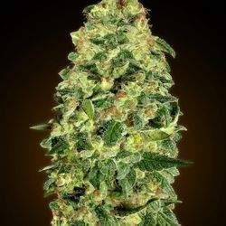 Auto California Kush Feminizowane (00 Seeds Bank)