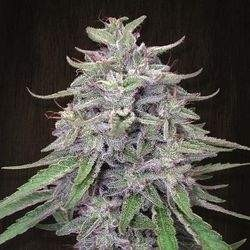 Bangui Haze Feminized (Ace Seeds)