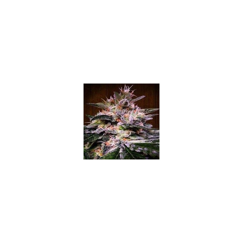 Bubba Hash Feminized (Ace Seeds)