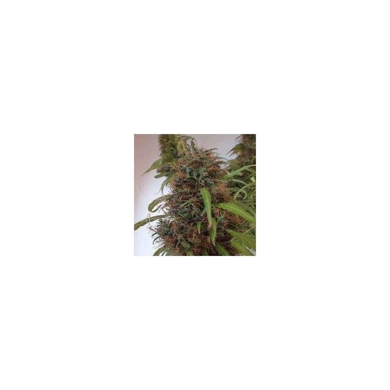 Honduras Regular (Ace Seeds)