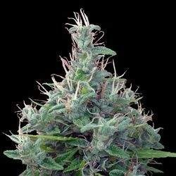 Libano Standard Regular (Ace Seeds)