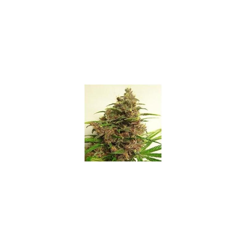 Malawi x PCK Regularne   (Ace Seeds)