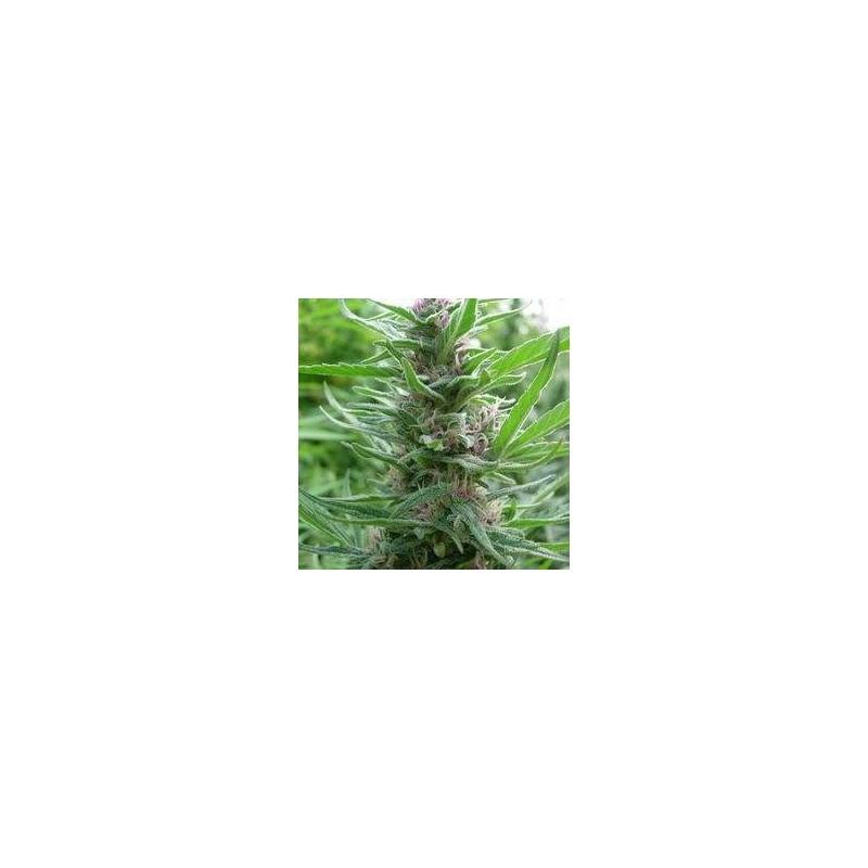 Panama Regular (Ace Seeds)