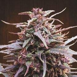 Purple Haze x Malawi Rgular (Ace Seeds)