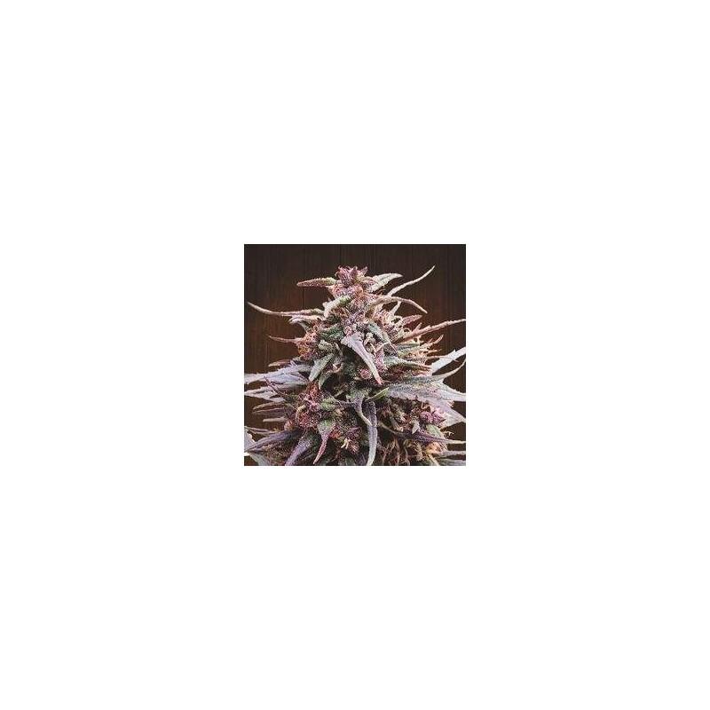 Purple Haze x Malawi Rgular (Ace Seeds)