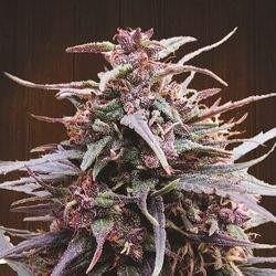 Purple Haze x Malawi Feminizowane (Ace Seeds)