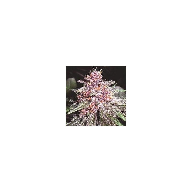 Violeta Regularne (Ace Seeds)