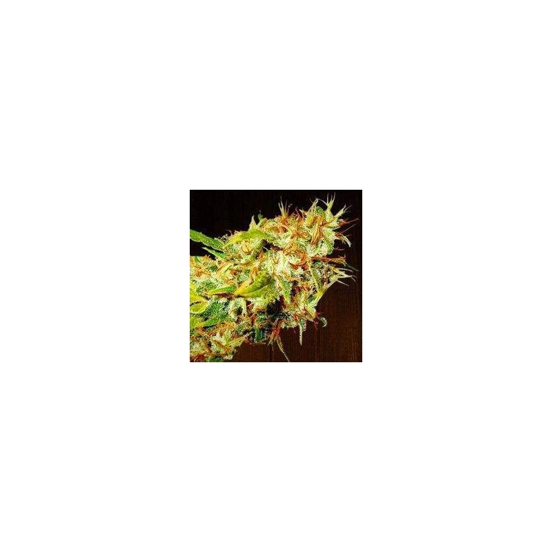 Zameldelica Feminized (Ace Seeds)