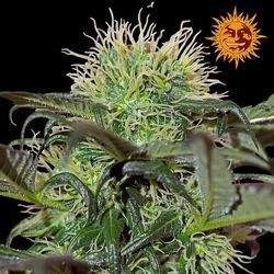 Bad Azz Kush Feminized (Barneys Farm)