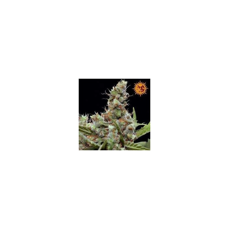 CBD Blue Shark Feminized (Barneys Farm)