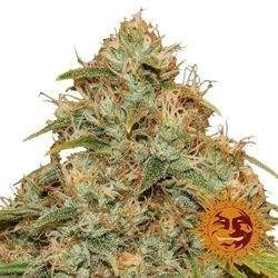 Auto CBD Lemon Potion Feminized (Barneys Farm)