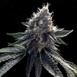Sour Kosher Feminized (DNA Genetics)