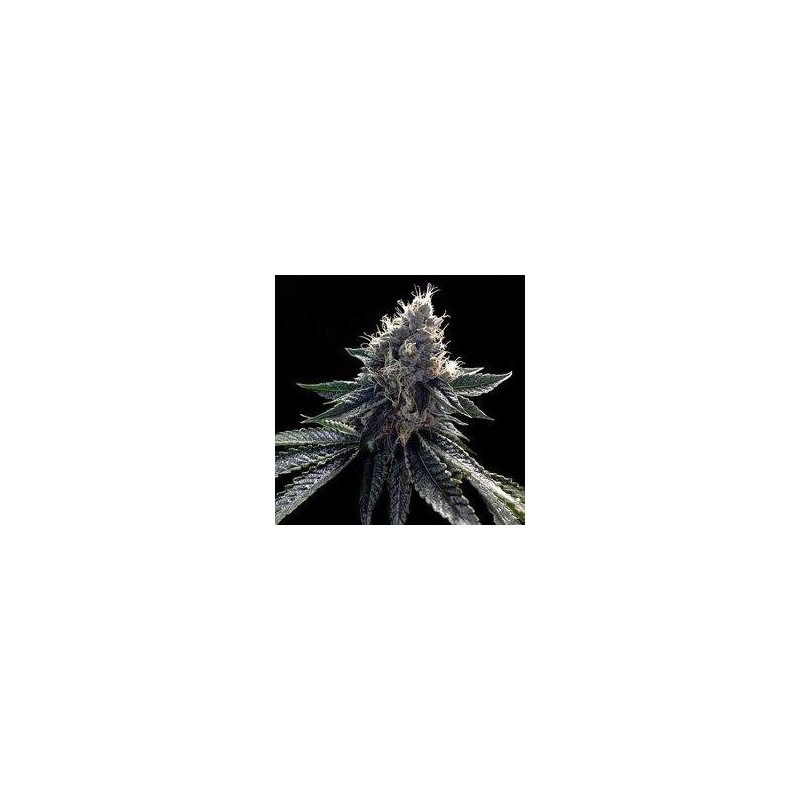 Sour Kosher Feminizowane (DNA Genetics)