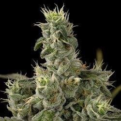 Nicole Kush Feminized (DNA Genetics)