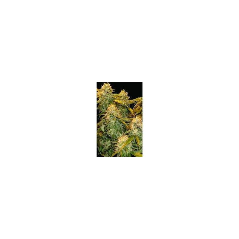 DNA Mix Pack Feminized (DNA Genetics)
