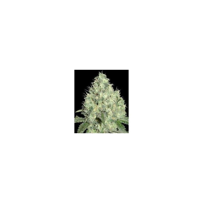 91 Krypt Regularne (DNA Genetics)